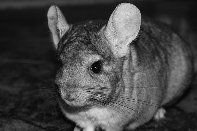 Chinchilla lifespan
