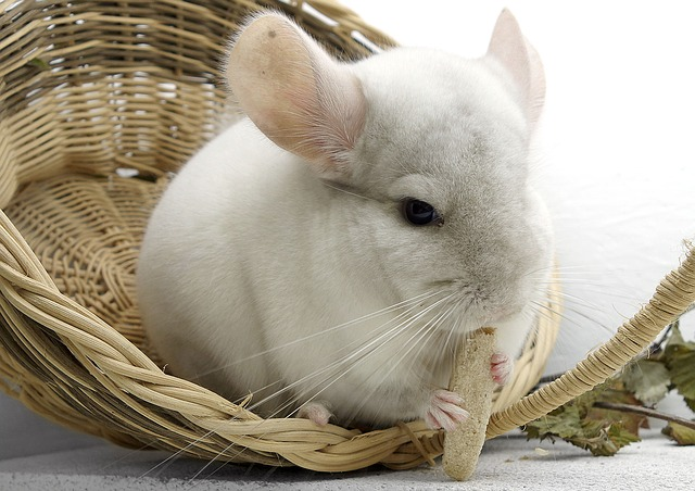 Chinchilla sitting and eating