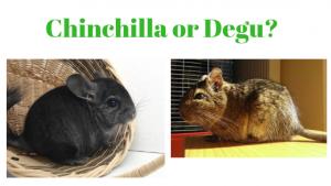Degu or Chinchilla