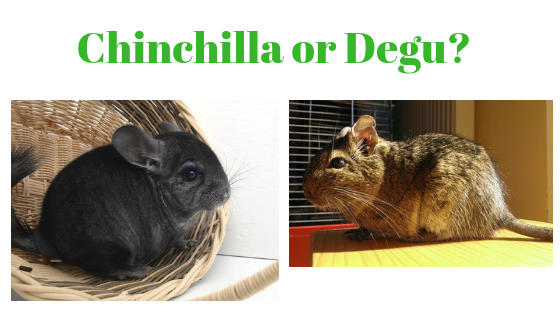 Degu or Chinchilla