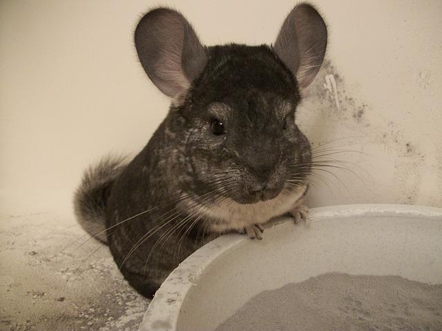 Chinchilla dust bath