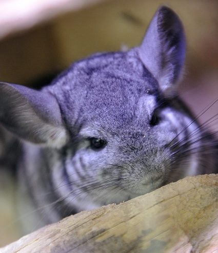 do chinchillas bite