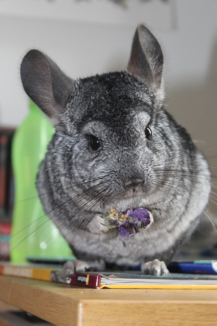 Chinchilla fur slip