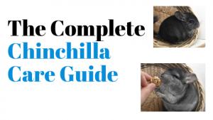 The Complete Chinchilla Care Guide