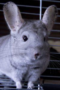 Chinchilla in a cage