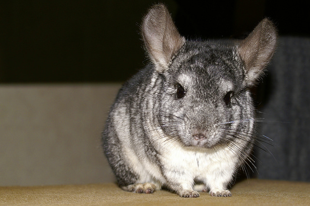 chinchilla fur