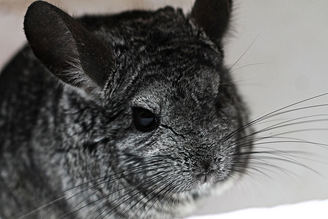 chinchilla shedding
