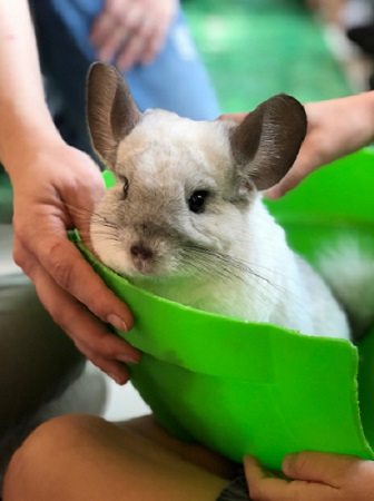 Are-Chinchillas-Friendly