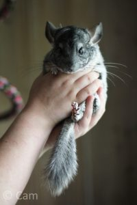 How-to-hold-a-chinchilla