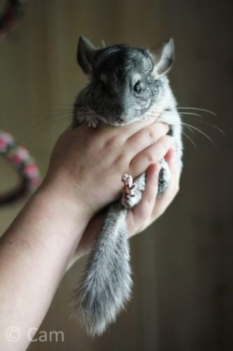 How to hold a chinchilla