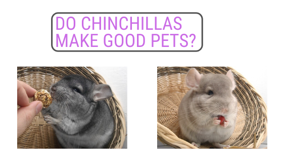 Do Chinchillas make good pets
