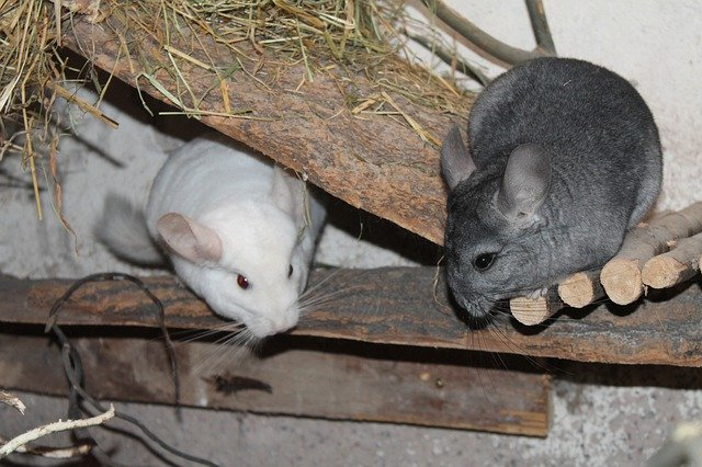 two chinchillas