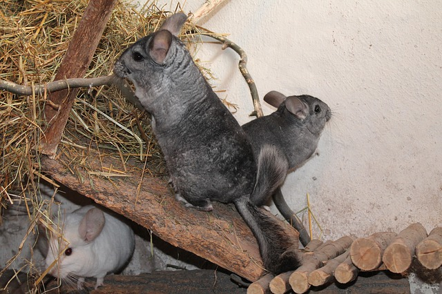 chinchillas-in-a-cage