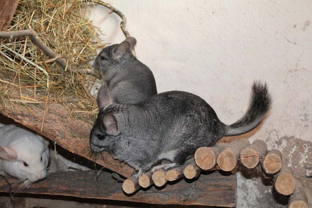 What Colors are Chinchillas?