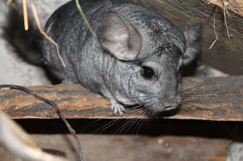 Chinchilla alone